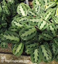 Maranta cristata, Maranta bicolor, Prayer PlantClick to see full-size image