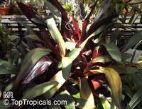 Nidularium amazonicum, Wittrockia amazonica, Wittrockia smithii, Nidularium  Click to see full-size image