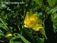 Paeonia ludlowii, Paeonia lutea var. ludlowii, Tibetan Tree PeonyClick to see full-size image