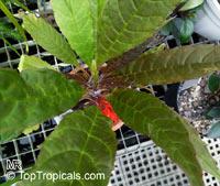 Paradrymonia hypocyrta, Paradrymonia  Click to see full-size image