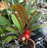 Paradrymonia sp., Paradrymonia  Click to see full-size image