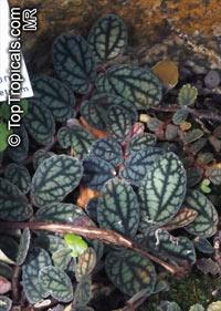 Pellionia pulchra, Satin Pellionia  Click to see full-size image