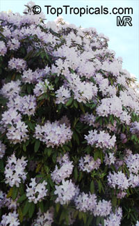Rhododendron sp., Azalea sp., RhododendronClick to see full-size image