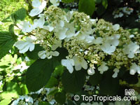 Viburnum plicatum, Japanese Ûnowball  Click to see full-size image