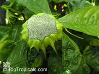 Dorstenia barteri, Dorstenia  Click to see full-size image