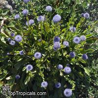 Globularia bisnagarica, Globularia punctata, Common Ball Flower  Click to see full-size image