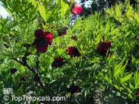 Paeonia delavayi, Delavay's Tree Peony  Click to see full-size image