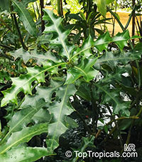 Acanthus ilicifolius, Holly-leaved Acanthus, Sea Holly, Holy Mangrove  Click to see full-size image