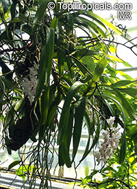 Aerides odorata, Fragrant Aerides  Click to see full-size image