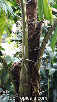 Aiphanes horrida, Aiphanes aculeata, Devil Palm, Ruffle Palm, Spine Palm  Click to see full-size image