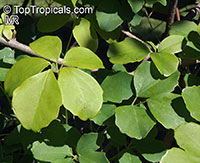 Akebia quinata, Chocolate Vine, Five-leaf Akebia  Click to see full-size image