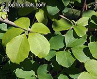 Akebia quinata, Chocolate Vine, Five-leaf Akebia  Click to see full-size image