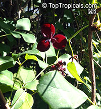 Akebia trifoliata, Chocolate Vine, Three-leaf Akebia   Click to see full-size image