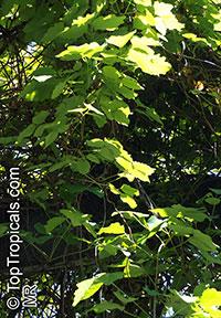 Akebia trifoliata, Chocolate Vine, Three-leaf Akebia   Click to see full-size image