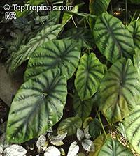 Alocasia clypeolata, Green Shield Alocasia  Click to see full-size image