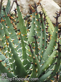 Aloe erinacea, Aloe melanacantha var. erinacea , Goree  Click to see full-size image
