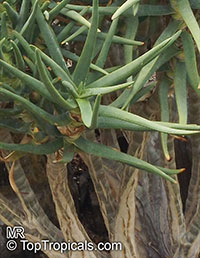 Aloidendron sp., Aloidendron, Quiver Tree  Click to see full-size image