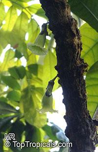 Amphitecna macrophylla , Bigleaf Black Calabash  Click to see full-size image