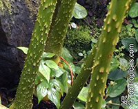 Anchomanes difformis, Amorphophallus difformis, Anchomanes  Click to see full-size image