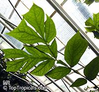 Anchomanes difformis, Amorphophallus difformis, Anchomanes  Click to see full-size image