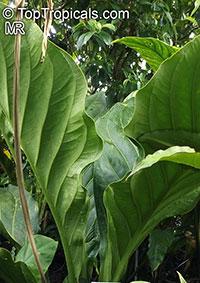 Anthurium guayanum, Anthurium bonplandii subsp. guayanum, Anthurium  Click to see full-size image