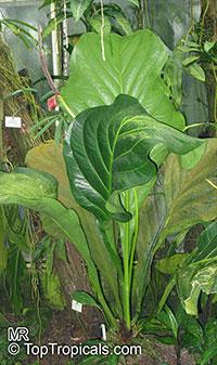 Anthurium bonplandii Cobra   Click to see full-size image