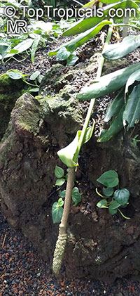 Anthurium sp., Tail Flower  Click to see full-size image