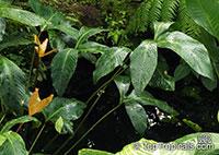 Anubias gigantea, Anubias gigantea var. tripartita, Giant Anubias  Click to see full-size image