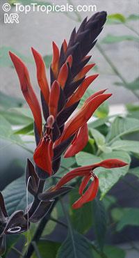Aphelandra schiedeana, Aphelandra melgariensis, Aphelandra  Click to see full-size image