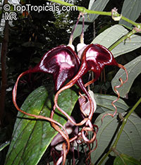 Aristolochia tricaudata, Isotrema tricaudata, Aristolochia, Three-tailed Pipe Flower  Click to see full-size image