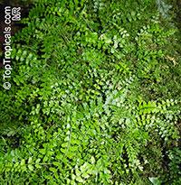 Asplenium achilleifolium, Asplenium  Click to see full-size image
