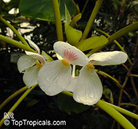 Begonia ampla, Begonia  Click to see full-size image