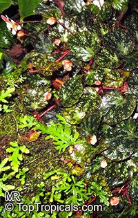 Begonia nigritarum, Begonia rhombicarpa, Begonia  Click to see full-size image