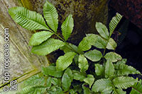Bolbitis heteroclita, Water Fern  Click to see full-size image