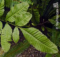 Bolbitis heteroclita, Water Fern  Click to see full-size image