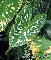 Caladium praetermissum, Alocasia 'Hilo Beauty', Colocasia 'Hilo Beauty', Camouflage Alocasia, Hilo Beauty  Click to see full-size image