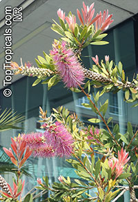 Melaleuca citrina, Callistemon citrinus, Callistemon lanceolatus, Common Red Bottlebrush, Crimson Bottlebrush, Lemon Bottlebrush  Click to see full-size image