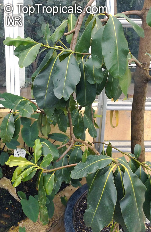 Calophyllum inophyllum ༴ Ballnut ༴ Tamanu ༴ Alexandrian-laurel ༴ Mastwood ༴ Seed