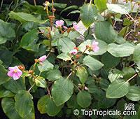 Calvoa orientalis, Calvoa sessiliflora, Calvoa  Click to see full-size image