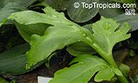 Ceratopteris cornuta, Water Sprite  Click to see full-size image