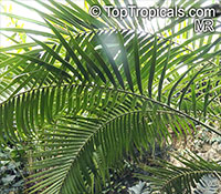 Ceratozamia mexicana, Palmilla, Forest Pineapple  Click to see full-size image