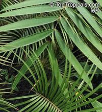 Ceratozamia sp., Ceratozamia  Click to see full-size image