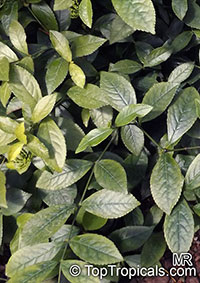 Chloranthus erectus, Chloranthus officinalis, Chloranthus  Click to see full-size image