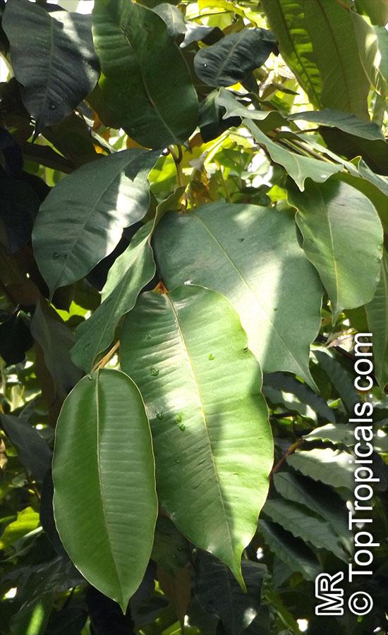 Indian Redwood Seeds 100 Chukrasia tabularis Seeds Chittagong Wood