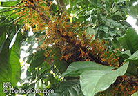 Clavija sp., Clavija  Click to see full-size image