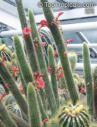 Cleistocactus sp., Cleistocactus  Click to see full-size image