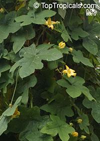 Coccinia trilobata, Coccinia kilimandjarica, Peponia trilobata, Coccinia  Click to see full-size image