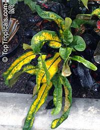Codiaeum variegatum, Croton  Click to see full-size image