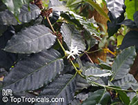 Coffea stenophylla, Highland Coffee of Sierra Leone  Click to see full-size image