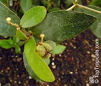 Croton eluteria, Cascarilla officinalis, Cascarilla  Click to see full-size image
